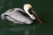 BIRDS;HORIZONTAL;PELECANUS-OCCIDENTALIS;PELICANS;SEABIRDS;USA;VERTEBRATES;WATER;WINTER