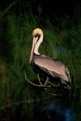 BIRDS;PELECANUS-OCCIDENTALIS;PELICANS;SEABIRDS;USA;VERTEBRATES