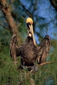 BEHAVIOUR;BIRDS;PELECANUS-OCCIDENTALIS;PELICANS;SEABIRDS;USA;VERTEBRATES