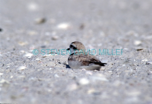 snowy plover;plover;male snowy plover;snowy plover breeding plumage;charadrius alexandrinus;migratory bird in florida;migratroy bird;bird resting on beach;bird on sand cay;steven david miller