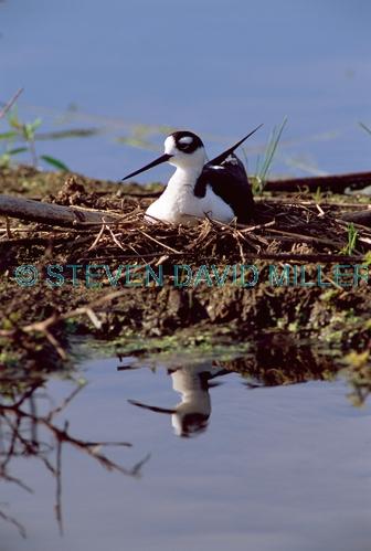 BIRDS;HIMANTOPUS MEXICANUS;NESTS;STILTS;USA;VERTEBRATES;VERTICAL;WADERS;WETLANDS