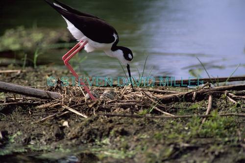 BIRDS;HIMANTOPUS MEXICANUS;NESTS;STILTS;USA;VERTEBRATES;WADERS