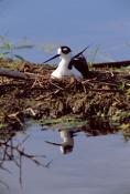 BIRDS;HIMANTOPUS-MEXICANUS;NESTS;STILTS;USA;VERTEBRATES;VERTICAL;WADERS;WETLANDS