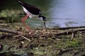 BIRDS;HIMANTOPUS-MEXICANUS;NESTS;STILTS;USA;VERTEBRATES;WADERS