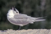 royal-tern-picture;royal-tern;tern;sterna-maxia;naples-beach;southwest-florida-beach;gulf-of-mexico-