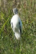 wood-stork-picture;wood-stork;stork;american-stork;florida-stork;mycteria-americana;wood-stork-stand