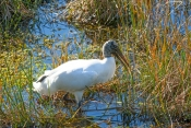 wood-stork-picture;wood-stork;stork;american-stork;florida-stork;mycteria-americana;wood-stork-forag