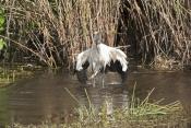 wood-stork-picture;wood-stork;stork;american-stork;florida-stork;mycteria-americana;wood-stork-bathi