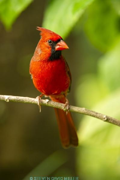 redbird;red bird;common cardinal;cardinal;passeriformes