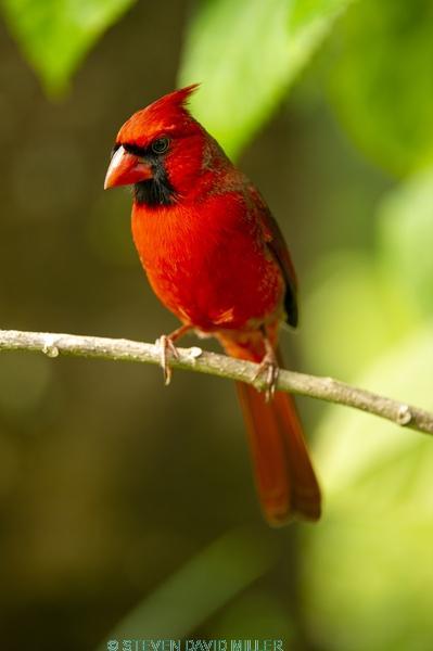 redbird;red bird;common cardinal;cardinal;passeriformes