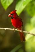 Cardinals & Buntings