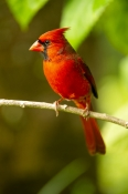redbird;red-bird;common-cardinal;cardinal;passeriformes