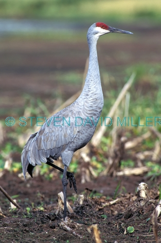 crane;american crane;sandhill crane;sandhill crane picture;migrating crane;sandhill crane standing;myakka river state park;florida state park
