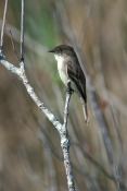 Flycatchers, Phoebies,
