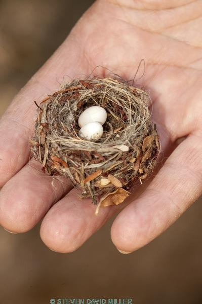 hummingbird nest;tiny nest;small nest;family Trochilidae