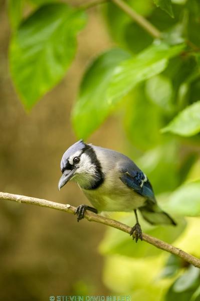 passerine;jay bird;florida blue jay