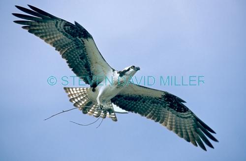 osprey;osprey with nesting material in talons;pandion haliaetus;sea bird;osprey with nesting material;osprey in flight;osprey flying;bird flying;florida osprey;everglades national park;steven david miller