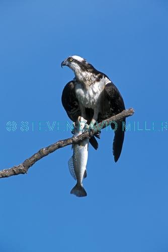 osprey;osprey with fish in talons;pandion haliaetus;sea bird;osprey with fish;bird with fish;sea bird with fish;florida osprey;everglades national park;steven david miller