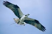 osprey;osprey-with-nesting-material-in-talons;pandion-haliaetus;sea-bird;osprey-with-nesting-materia