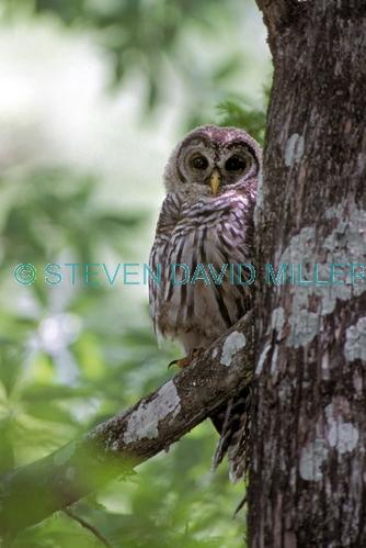 barred owl;strix varia;owl;barred owl fledgling;owl fledging;large owl;owl in tree;owl on branch;owl in swamp;owl portrait;corkscrew swamp sanctuary;cypress swamp;florida owl;north american owl;steven david miller