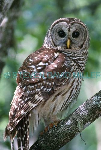 barred owl picture;barred owl;florida owl;strix varia;corkscrew swamp sanctuary;cypress swamp;swamp birds;southwest florida;florida swamp;florida bird;birds of florida;owl;amercian owl;eye contact