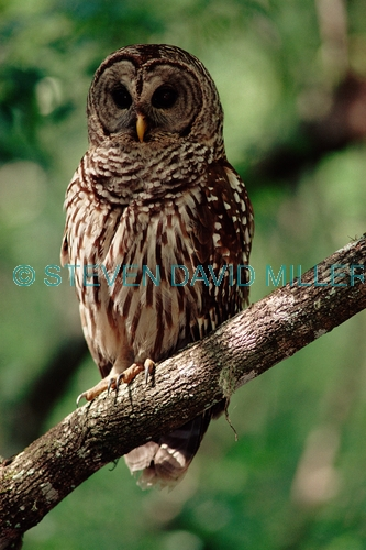 BIRDS;BIRDS-OF-PREY;OWLS;STRIX VARIA;USA;VERTEBRATES;VERTICAL;corkscrew swamp sanctuary
