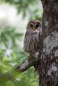 barred-owl;strix-varia;owl;barred-owl-fledgling;owl-fledging;large-owl;owl-in-tree;owl-on-branch;owl