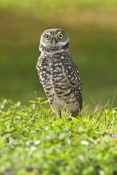 burrowing-owl-picture;burrowing-owl;owl-in-burrow;athene-cunicularia;burrowing-owl-on-burrow;florida