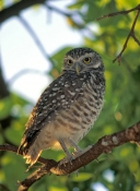 florida-burrowing-owl;burrowing-owl;owl;small-owl;athene-cunicularia;owl-standing;owl-with-yellow-ey