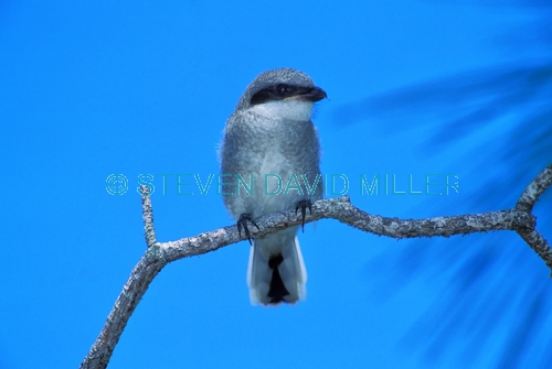 loggerhead shrike;shrike;loggerhead shrike fledgling;lanius ludovicianus;fledgling;shrike on tree branch;bird on tree branch;bird with blue sky;florida bird;southern united states bird;steven david miller