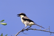loggerhead-shrike-picture;loggerhead-shrike;shrike;lanius-ludovicianus;florida-shrike;florida-bird;b