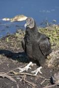 black-vulture-picture;black-vulture;american-black-vulture;vulture;scavanger;scavanger-bird;florida-