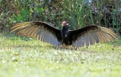 turkey-vulture-picture;turkey-vulture;vulture;everglades-national-park;the-everglades;vulture-with-w