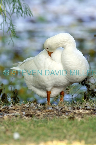 greylag goose picture;greylag goose;white goose;grey goose;goose;domesticated goose;anser anser;lilyponds;mapleton