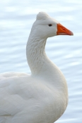 greylag-goose-picture;greylag-goose;white-goose;grey-goose;goose;domesticated-goose;anser-anser;lily