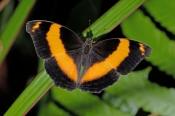 australian-lurcher-butterfly-picture;australian-lurcher-butterfly;lurcher-butterfly;yoma-sabina;aust