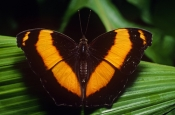 AUSTRALIA;BUTTERFLIES;INSECTS;INVERTEBRATES;ARTHROPODS;LARGE;LEPIDOPTERA;SIZE;YOMA-SABINA