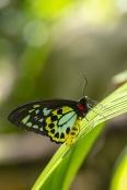 Australian Butterflies & Moths