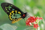 cairns-birdwing-butterfly-picture;cairns-birdwing-butterfly;ornithoptera-euphorion;australian-butter