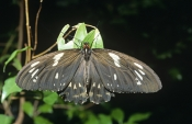 AUSTRALIA;BUTTERFLIES;INSECTS;INVERTEBRATES;LEPIDOPTERA;SIZE;ARTHROPODS;LARGE;EUPLOEA-CORE
