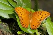 cruiser-butterfly-picture;cruiser-butterfly;vindula-arsinoe;australian-butterfly;butterfly-farm;kura