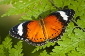 orange-lacewing-butterfly-picture;orange-lacewing-butterfly;cethosia-penthesilea;australian-butterfl