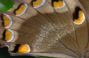 ulysses-butterfly-picture;ulysses-butterfly;ulysses-swallowtail-butterfly;swallowtail-butterfly;aust