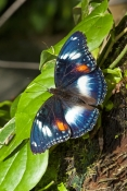 varied-eggfly-butterfly-picture;varied-eggfly-butterfly;hypolimnas-bolina;australian-butterfly;butte