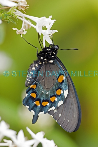 eastern black swallowtail butterfly picture;eastern black swallowtail butterfly;black swallowtail butterfly;papilio polyxenes;swallowtail butterfly;black swallowtail butterfly laying eggs;butterfly laying eggs;butterfly garden;butterfly enclosure;naples botanical gardens;florida butterflies;north american butterflies;swallowtail butterflies