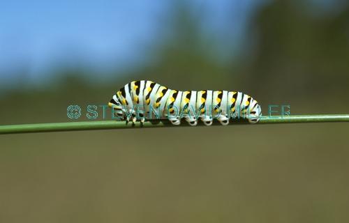 black swallowtail larvae;butterfly larvae;larvae;last instar of larvae phase;metamorphasis;butterfly metamorphasis;instar phase;corkscrew swamp sanctuary;larvae phase;florida butterflies;florida butterfly