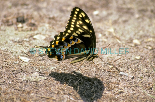 black swallowtail picture;black swallowtail;black swallowtail butterfly;butterfly feeding on minerals;butterfly sucking minerals;butterfly feeding on minerals;big cypress preserve;butterfly on the ground;swallowtail butterfly;florida butterflies;florida butterfly