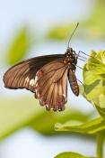 eastern-black-swallowtail-butterfly-picture;eastern-black-swallowtail-butterfly;black-swallowtail-bu