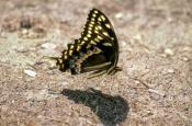 black-swallowtail-picture;black-swallowtail;black-swallowtail-butterfly;butterfly-feeding-on-mineral