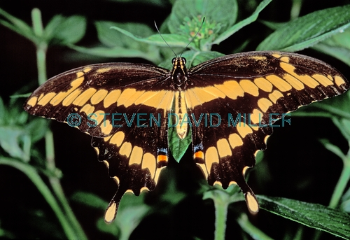 giant swallowtail butterfly picture;giant swallowtail butterfly;giant swallowtail;swallowtail butterfly;swallowtail;florida butterflies;florida butterfly;butterfly with open wings;southwest florida butterfly